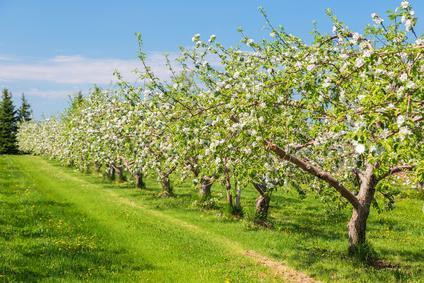 Obstbäume vor Spinnmilben schützen