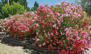 Spinnmilbenbefall an Oleander erkennen und bekämpfen
